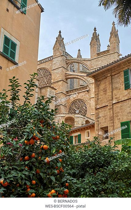 Spain, Mallorca, Palma, La Seu Cathedral with orange tree