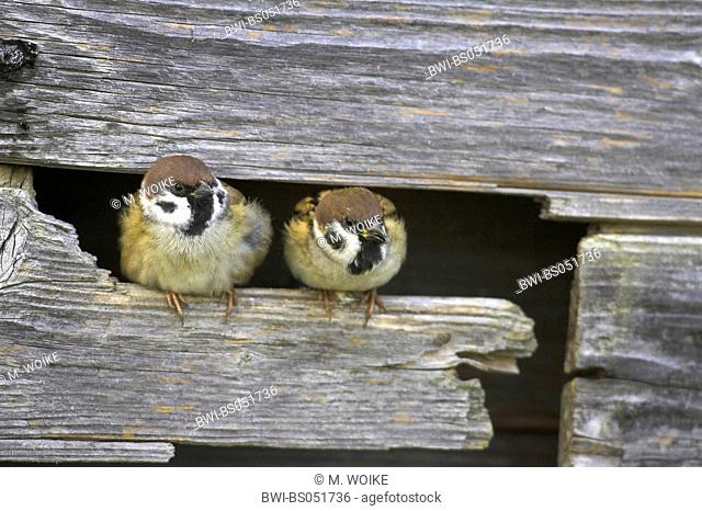 Eurasian tree sparrow (Passer montanus), pair at the nesting place in a wooden shelter, Greece, Macedonia