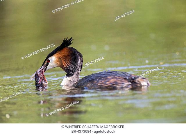 Great Crested Grebe (Podiceps cristatus) with European Crayfish (Astacus astacus), in water, Nettetal, North Rhine-Westphalia, Germany