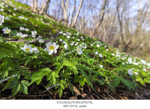 Wood anemone, Valchiusella, Canavese, Province of Turin, Piedmont, Italian alps, Italy