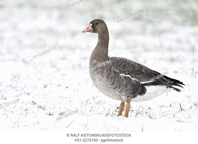 Greater White-fronted Goose ( Anser albifrons ), young bird in winter, standing on farmland, in heavy snowfall, wildlife, Europe