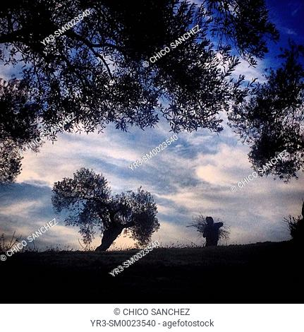 A man works in an olive orchad in Prado del Rey, Sierra de Cadiz, Andalusia, Spain