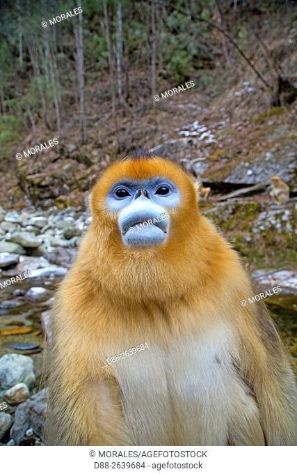 Asia, China, Shaanxi province, Qinling Mountains, Golden Snub-nosed Monkey (Rhinopithecus roxellana),