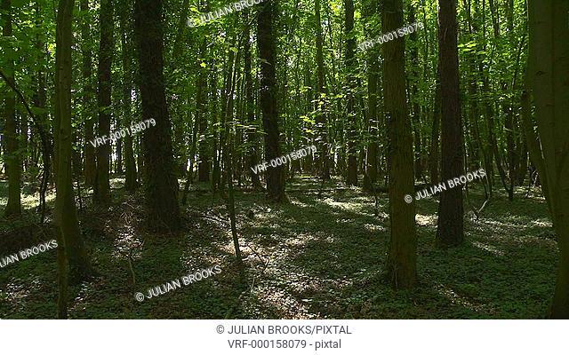 Looking through the wood, seamless loop