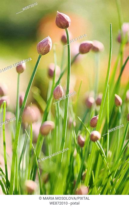 Kitchen Garden Patch of Chives Onions in Bud