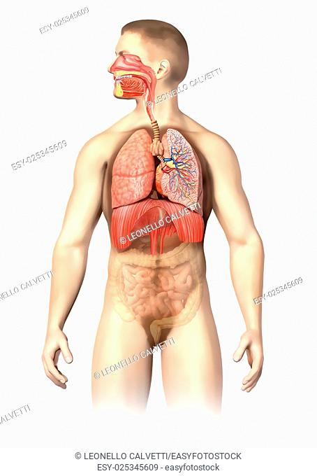 Man anatomy Respiratory system cutaway, including mouth. The other organs, are visible in half tones. On white background with clipping path