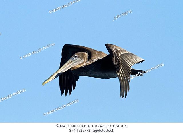 Brown Pelican in Flight over Harbor at Santa Cruz California USA