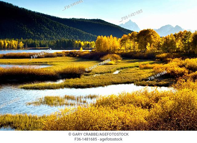 Golden autumn leaves in fall on trees below the Teton Range mountains, Grand Teton National Park, Wyoming