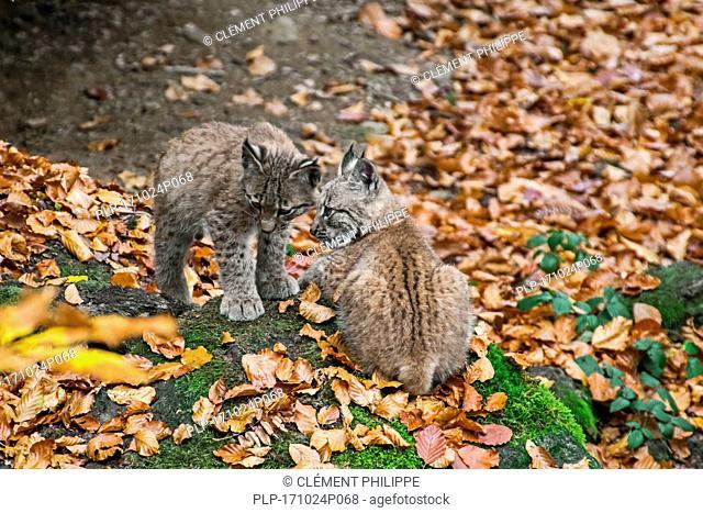 Two 2 months old Eurasian lynx (Lynx lynx) kittens at entrance of den in autumn forest
