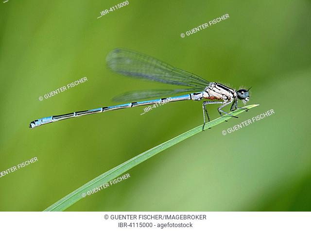 Azure Damselfly (Coenagrion puella), male, with red dots under the thorax, infested with water mites (Arrenurus), Switzerland