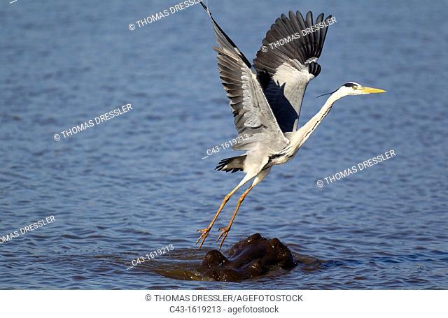 Grey Heron Ardea cinerea - The heron uses the head of the hippopotamus Hippopotamus amphibius as a base for hunting fish in the lake