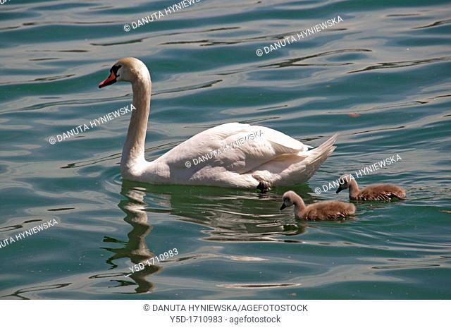 Swans family, mother and two chicks on the water