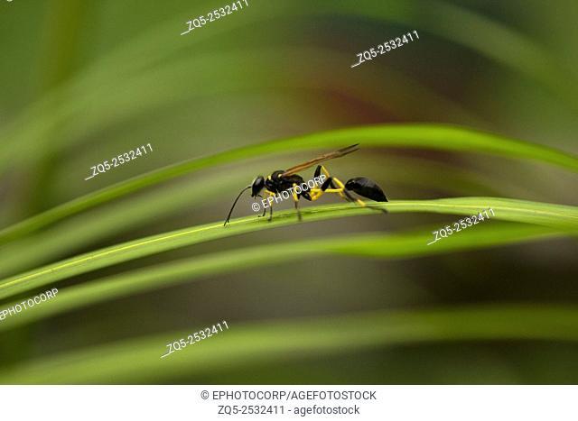 Wasp, Trishna, Tripura , India