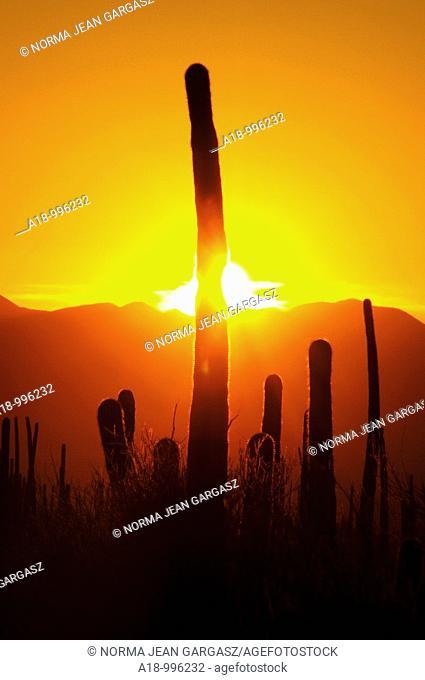 Saguaro cactus, Carnegiea gigantea, along Bajada Loop Drive in Saguaro National Park in the Sonoran Desert, Tucson, Arizona, USA
