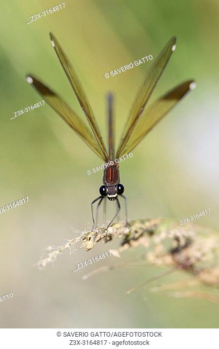 Copper Demoiselle, Adult female perched, Campania, Italy (Calopteryx haemorrhoidalis)