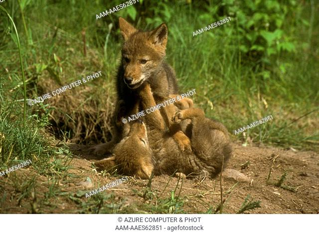 Coyote Pups playing (Canis latrans), IC, Minnesota