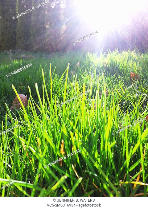 Backlit new spring grass growth