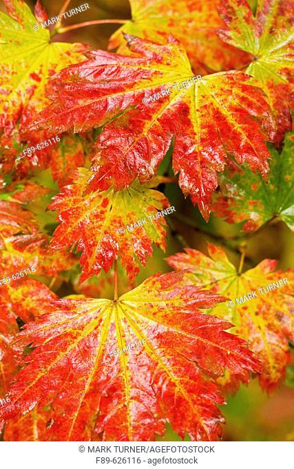 Fullmoon Maple foliage detail, autumn (Acer japonicum). Vancouver, UBC Botanical Garden, BC