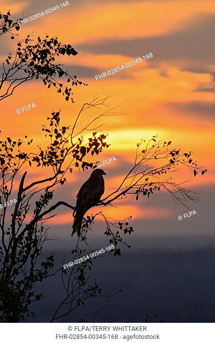 Red Kite (Milvus milvus) adult, perched in tree, silhouetted at sunset, Chilterns, Buckinghamshire, England, June