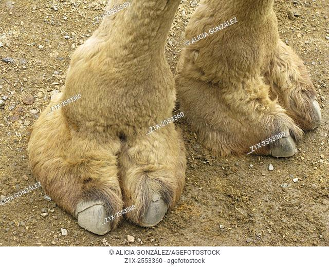 camel hooves