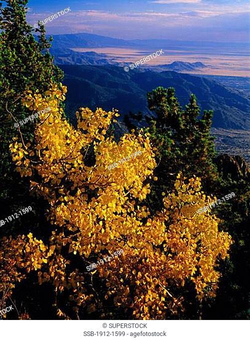Aspen on Sandia Peak Santa Fe National Forest New Mexico