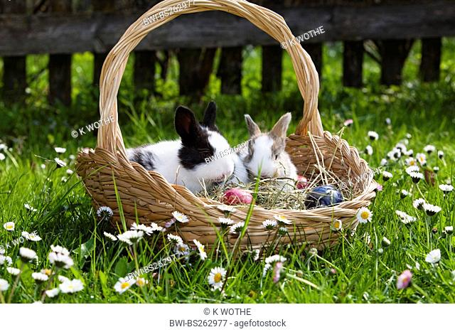 domestic rabbit Oryctolagus cuniculus f. domestica, Rabbit in easter basket, Germany