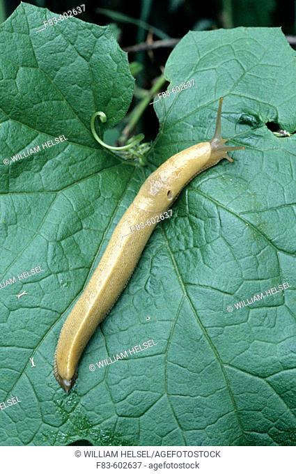 The Pacific Banana Slug, second largest of all land slug species, grows up to 25cm. (9.8in.). The slug in this photo is about 4.5in long