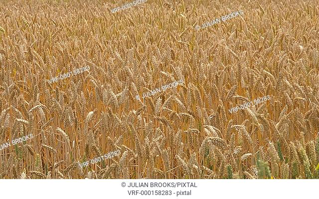 backlit golden wheat ripening in a field with breeze, seamless loop