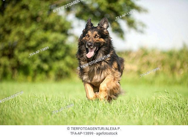 running Old German Shepherd