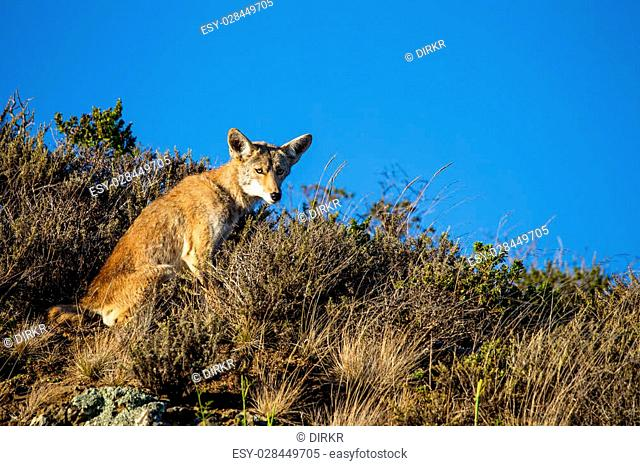 Coyote (Canis latrans) in the Golden Gate National Recreation Area north of San Francisco, California, USA