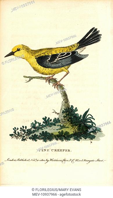 Pine warbler, Setophaga pinus. Handcolored copperplate engraving from The Naturalist's Pocket Magazine, Harrison, London, 1800