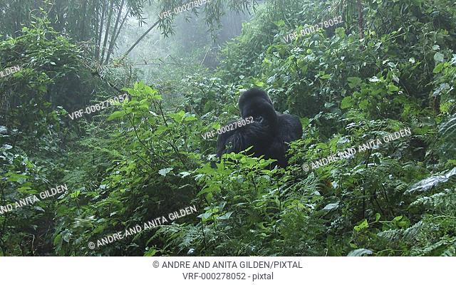 Mountain gorilla (gorilla beringei beringei) Silverback Munyinya from Hirwa group licking injured hand