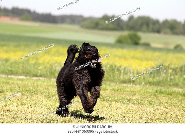 Labradoodle. Adult male running on a grass. Germany