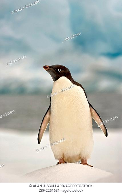 Adelie penguin on ice floe in the South Orkney Islands, Antarctica. Digitally manipulated Image. Composite of two images