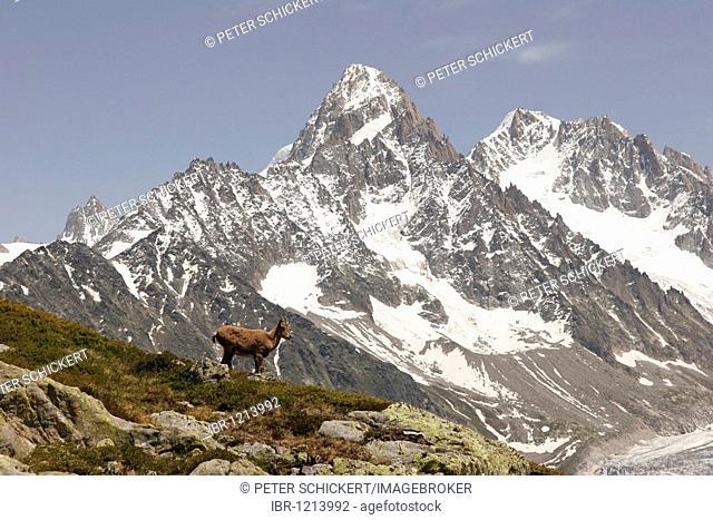 Young Alpine Ibex (Capra ibex) in the Mont Blanc Massif, near Chamonix-Mont-Blanc, France, Europe