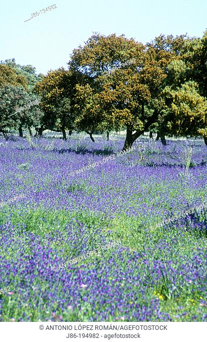 Meadow in spring. Seville province. Spain