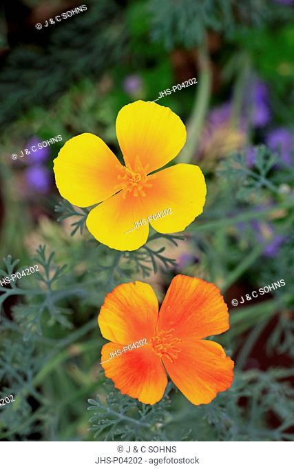 Eschscholzia californica, (Eschscholzia californica), California poppy, golden poppy, California sunlight, cup of gold, blooming, Ellerstadt, Germany, Europe
