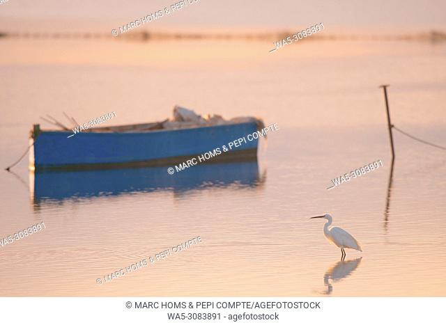 Great Egret at sunset in Deltebre, Catalonia