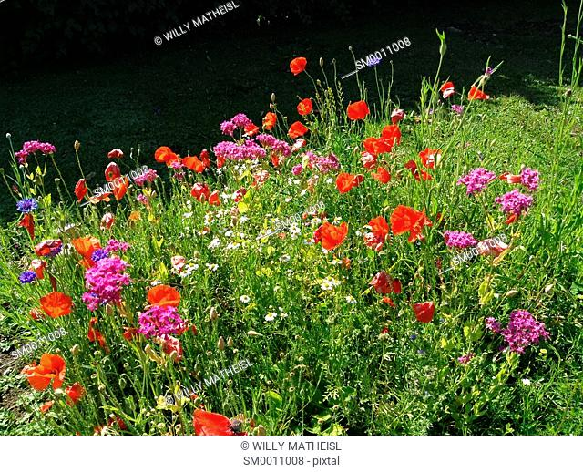 flower field with red poppy blossoms