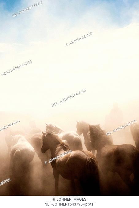 Icelandic horses running in dust