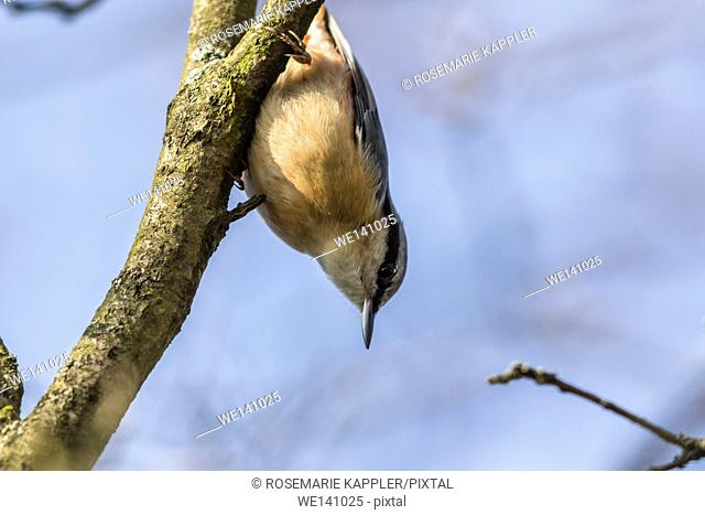 Germany, Saarland, Bexbach, A nuthatch on the tree