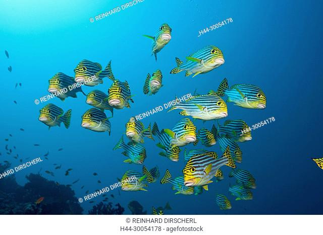 Shoal of Oriental Sweetlips, Plectorhinchus vittatus, South Male Atoll, Maldives