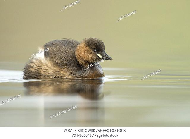 Little Grebe / Zwergtaucher (Tachybaptus ruficollis), adult, swims close by, ruffles its feathers, wildlife, Germany. .