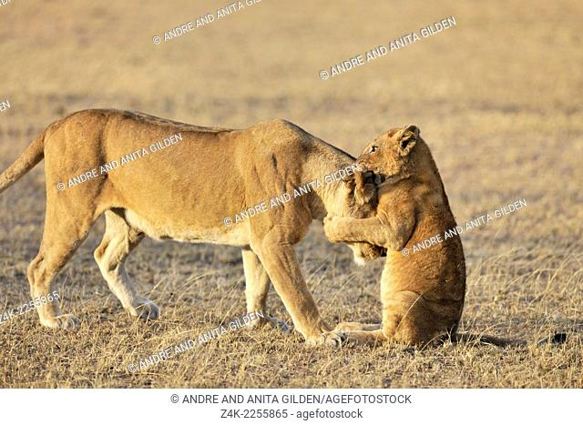 Lion cub (Panthera leo) playing with his mother on the savanna, Grumeti, Serengeti national park, Tanzania