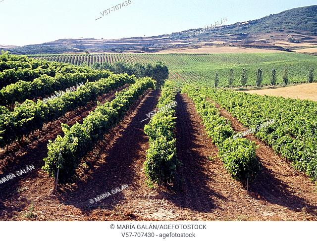 Vineyards in Irache, Navarre, Spain