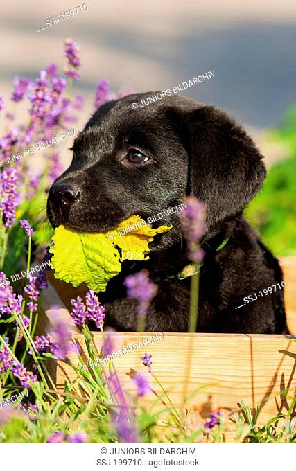 Labrador Retriever. Black puppy in a wooden box in a garden, chewing on a leaf. Germany