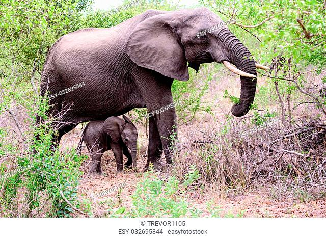 a very young Elephant calf seeking refuge under the belly of its mother