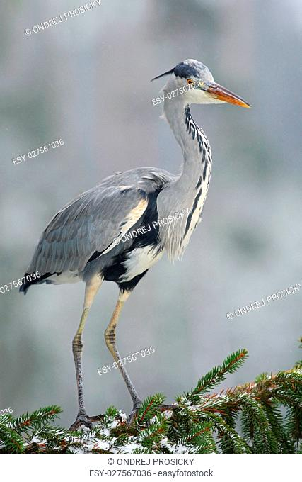 Grey heron sitting in the spruce tree branch with snow