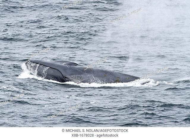 A rare view of an adult blue whale Balaenoptera musculus surfacing in the food-rich waters off the continental shelf near South Georgia in the Southern Ocean