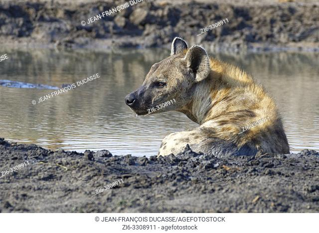 Spotted hyena (Crocuta crocuta), adult female lying in muddy water at a waterhole, alert, Kruger National Park, South Africa, Africa